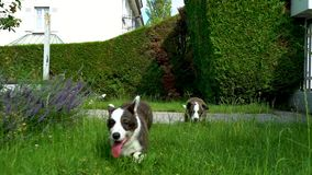 Beautiful brown young corgi dog walking in the green grass, slow motion stock footage