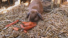 Brown, sweet rabbit eats fresh carrots in the rabbit hutch. Beautiful brown, young and sweet widder rabbit eats fresh carrots in the rabbit hutch stock footage
