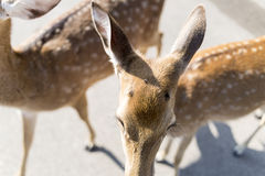 beautiful buck in car park of zoo Stock Photo