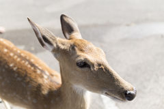 beautiful buck in car park of zoo Royalty Free Stock Images