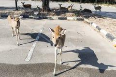 Beautiful buck in car park of zoo in Chiangmai ,Thailand Royalty Free Stock Photo