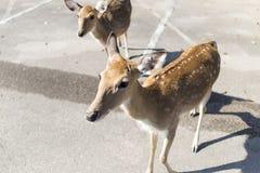 Beautiful buck in car park of zoo in Chiangmai ,Thailand Royalty Free Stock Photos