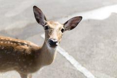 Beautiful buck in car park of zoo in Chiangmai ,Thailand Stock Photography