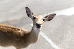 Beautiful buck in car park of zoo in Chiangmai ,Thailand Stock Image