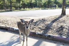 Beautiful buck in car park of zoo in Chiangmai ,Thailand Stock Photos