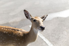 Beautiful buck in car park of zoo in Chiangmai ,Thailand Royalty Free Stock Images