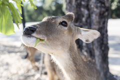 Beautiful buck with cut horn eating vetgetable, grass or leaf fr Royalty Free Stock Photos
