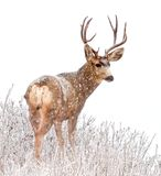 Majestic Buck Deer in the snow. A beautiful buck deer in the snow against a wintery white background Stock Photography