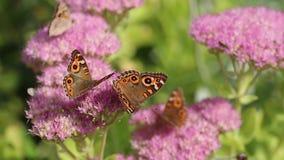 Beautiful buckeye butterflies stock video