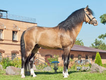 Beautiful buckskin welsh pony stallion Stock Images
