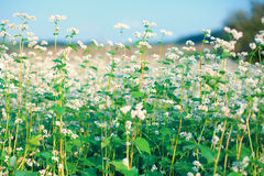 Beautiful buckwheat field Stock Image