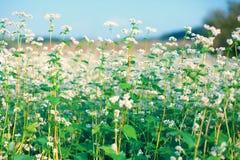 Beautiful buckwheat field Stock Image