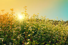 Beautiful buckwheat field Stock Photography