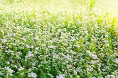 Beautiful buckwheat field Stock Photography