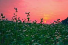 Beautiful buckwheat field Royalty Free Stock Photography