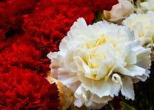 Beautiful bud of a carnation Royalty Free Stock Photo