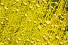 Beautiful bud flowers background. In spring season Royalty Free Stock Image