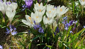 First spring flowers crocus  in park lilac and white color on green grass  Beautiful Blossom Floral nature  background. Beautiful bud flowers, crocus in park stock images