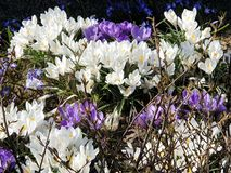First spring flowers crocus  in park lilac and white color on green grass  Beautiful Blossom Floral nature  background. Beautiful bud flowers, crocus in park stock photography