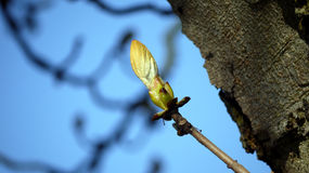 Bud on a Conker tree in Spring Stock Photo
