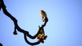 Chestnut bud, conker tree. Stock Photography