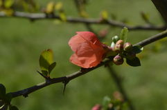 Beautiful bud quince macro Royalty Free Stock Images