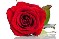 Beautiful bud of red rose Royalty Free Stock Photos