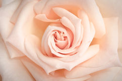 Beautiful bud of rose close-up as background Royalty Free Stock Photos