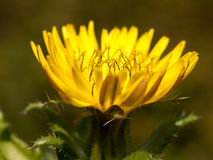 Beautiful budding yellow dandelion Taraxacum officinale seen fro. M side close up; England; UK royalty free stock photo