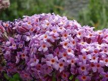 Beautiful Buddleia. Close up of buddleia flowers Stock Images