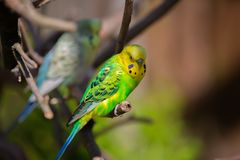 Beautiful Budgerigar sitting on a tree. A group of Budgerigars in a Bird enclosure in Delitzsch Germany stock photos