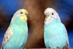 Beautiful Budgie Birds. Pair of budgie parakeets sitting next to each other Stock Images
