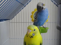 Beautiful budgies Stock Images