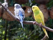 Beautiful budgies sitting on a branch. Royalty Free Stock Photography