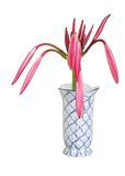 Beautiful buds of Giant spider lily in a vase Royalty Free Stock Images