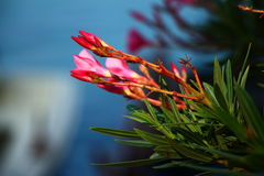 Beautiful buds of oleander flower. Power of Stock Photos