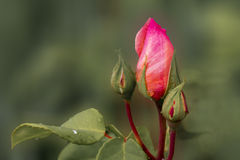 Beautiful buds of roses. Gentle rose bud, close-up, on a blurred background Stock Photos