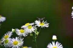 Beautiful bug on white wild flower Stock Photos