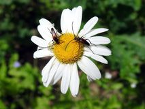 Two beetle on chamomile flower , Lithuania Stock Photo