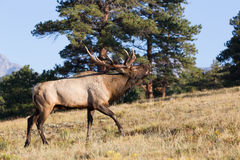 Beautiful bull elk bugling while walking Royalty Free Stock Images