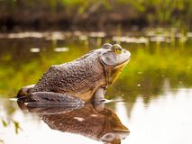 Bull frog who relaxes on the edge of a lake stock photo