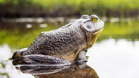 Bull frog who relaxes on the edge of a lake. Beautiful bull frog who relaxes on the edge of a lake royalty free stock photography
