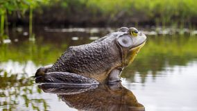 Bull frog who relaxes on the edge of a lake royalty free stock image
