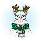 A beautiful bull terrier in a deer suit and a winter scarf. New Year`s and Christmas. Pedigree dog. Stock Photo