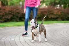 Beautiful bull terrier dog outdoors in summer. English bull terrier dog outdoors in summer Stock Images