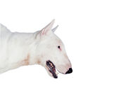 Beautiful bull-terrier Royalty Free Stock Photography