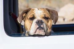 Beautiful Bulldog, guarding his owners Truck Stock Photography