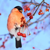 Beautiful bullfinch eating apples against blue sky Royalty Free Stock Photography