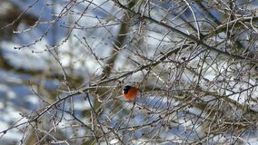 A beautiful bullfinch sits on a tree and eats buds from branches. Wood in winter without leaves and in snow. Winter. Birds on a sunny day stock footage