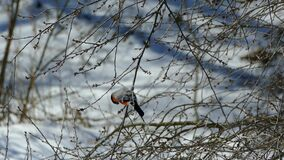 A beautiful bullfinch sits on a tree and eats buds from branches. Wood in winter without leaves and in snow. Winter. Birds on a sunny day stock video